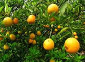 Pomar com laranjas infestadas