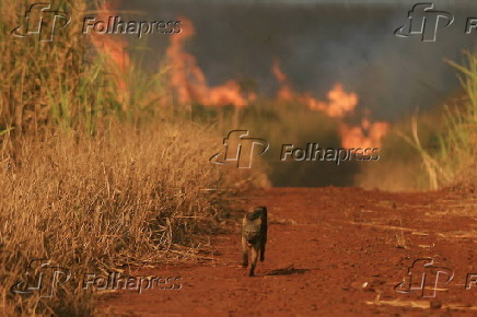 Animal foge da queimada em canavial.