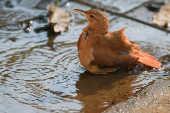 Pássaro se refresca em poça d'água