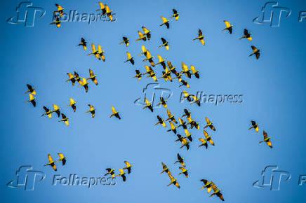 Plantação de sorgo atrai centenas de maritacas