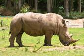 Rinoceronte branco no Zooparque Itatiba