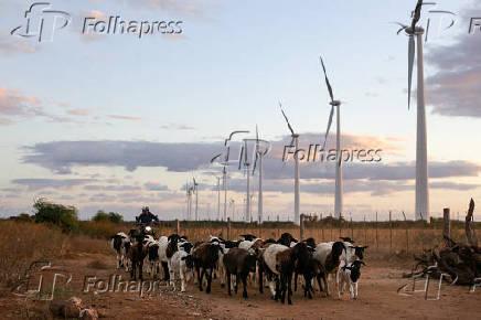 Rebanho de caprinos passa ao lado do Parque Eólico de Casa Nova, no norte da Bahia